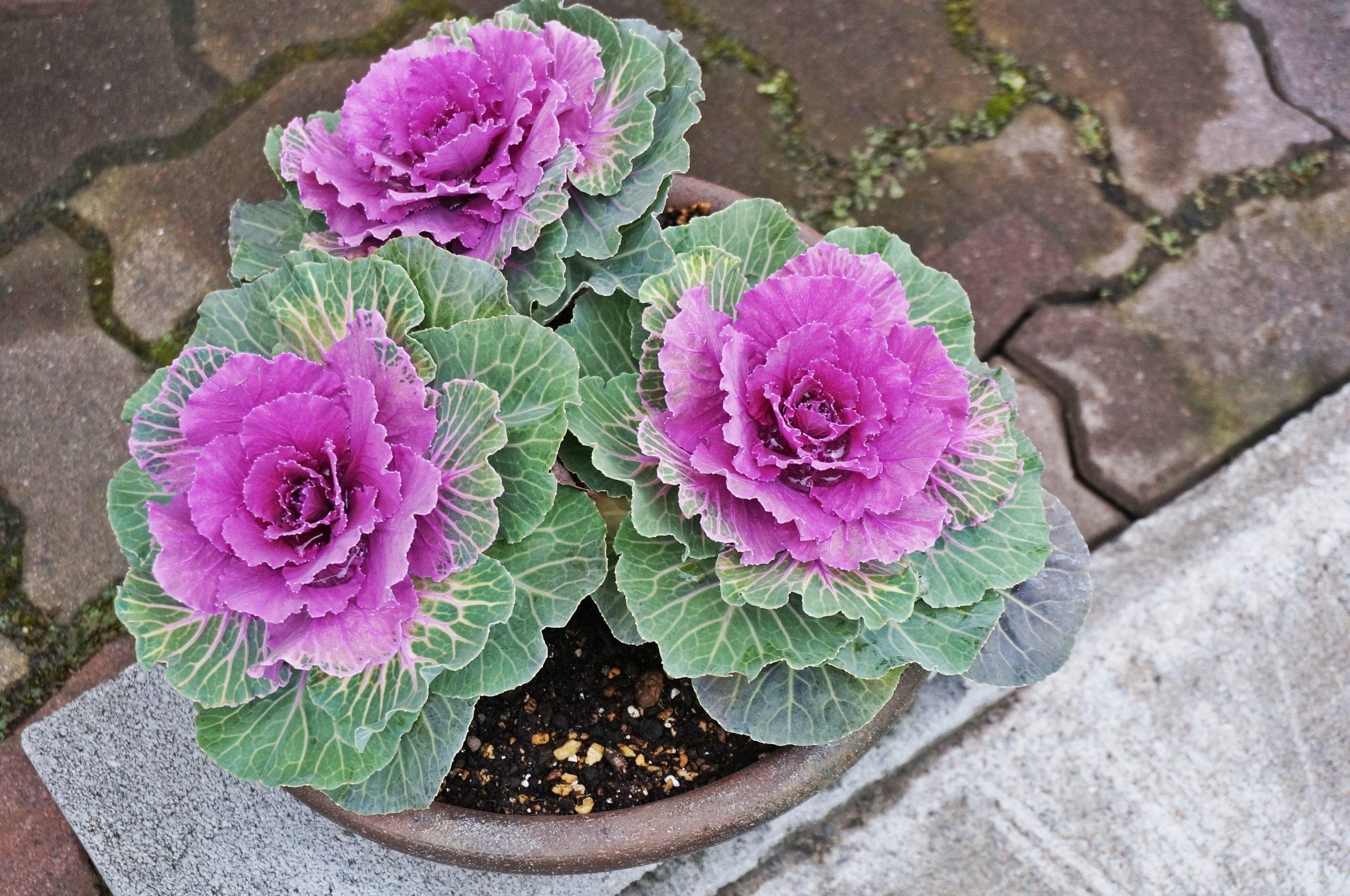 Close-up of flowering kale