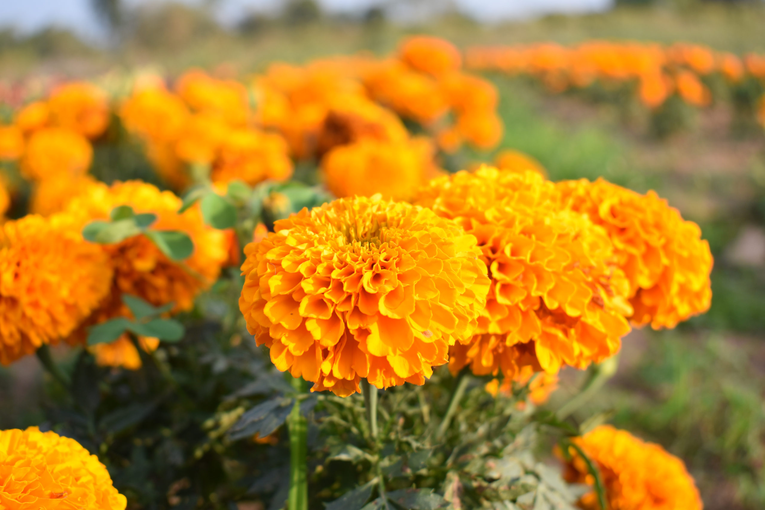 Closeup of Marigolds