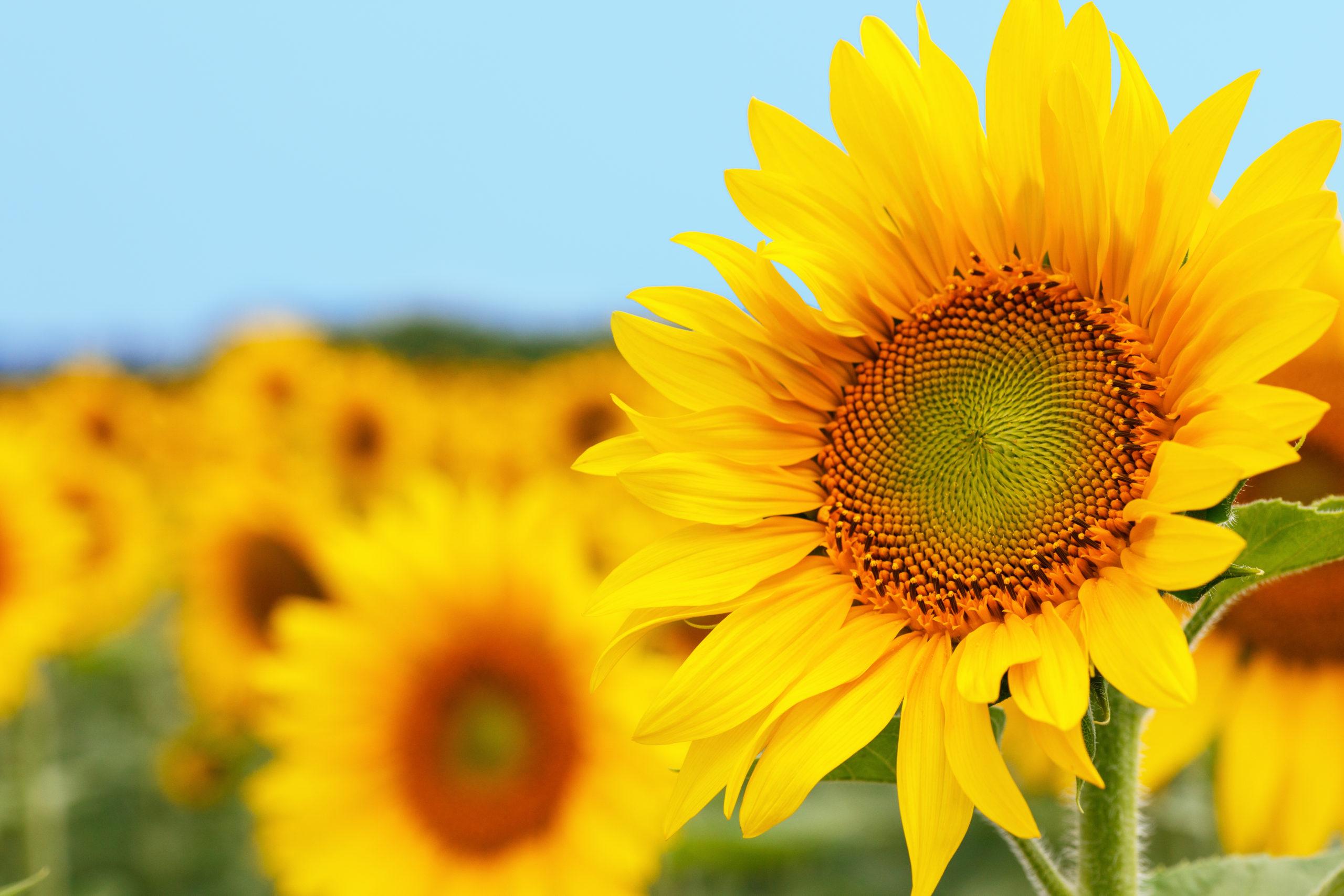 One sunflower on white background
