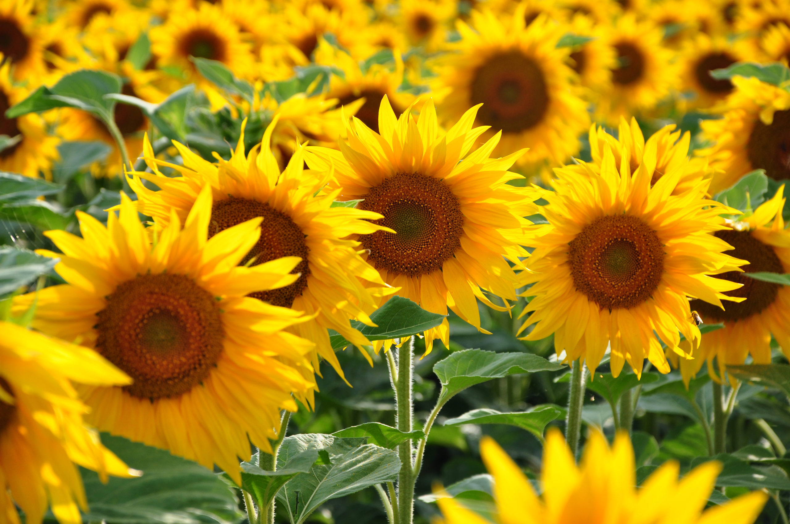 Several Blooming Sunflowers