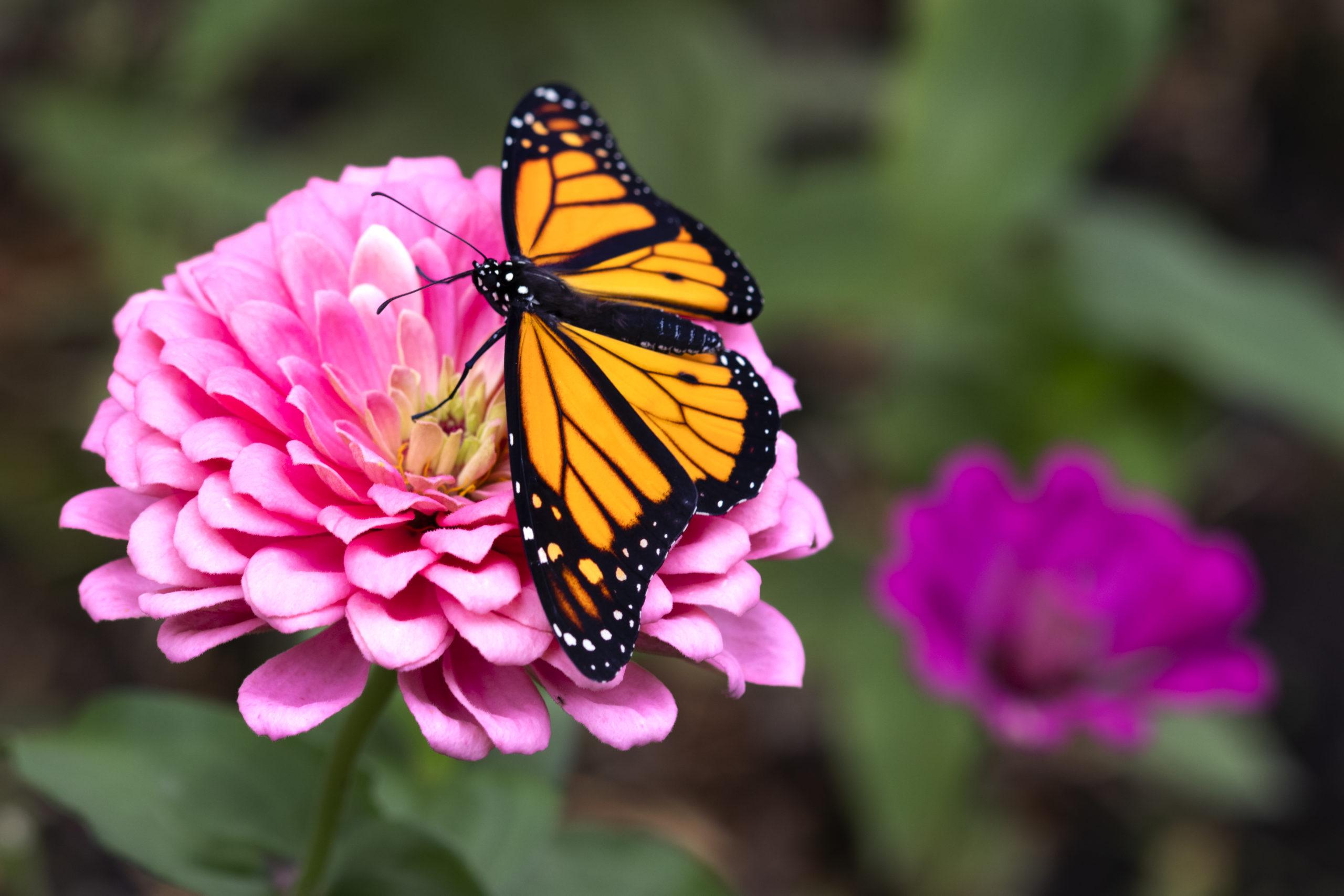 Butterfly on a zinnia